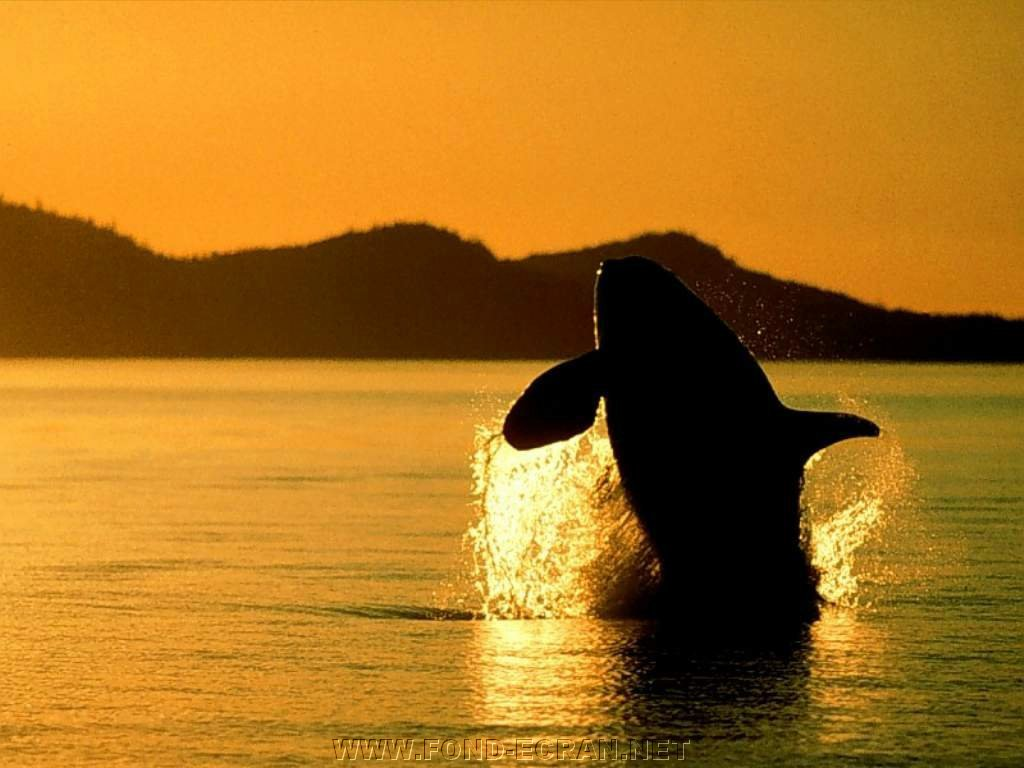 Orcas Killer Whales Jumping Sunset