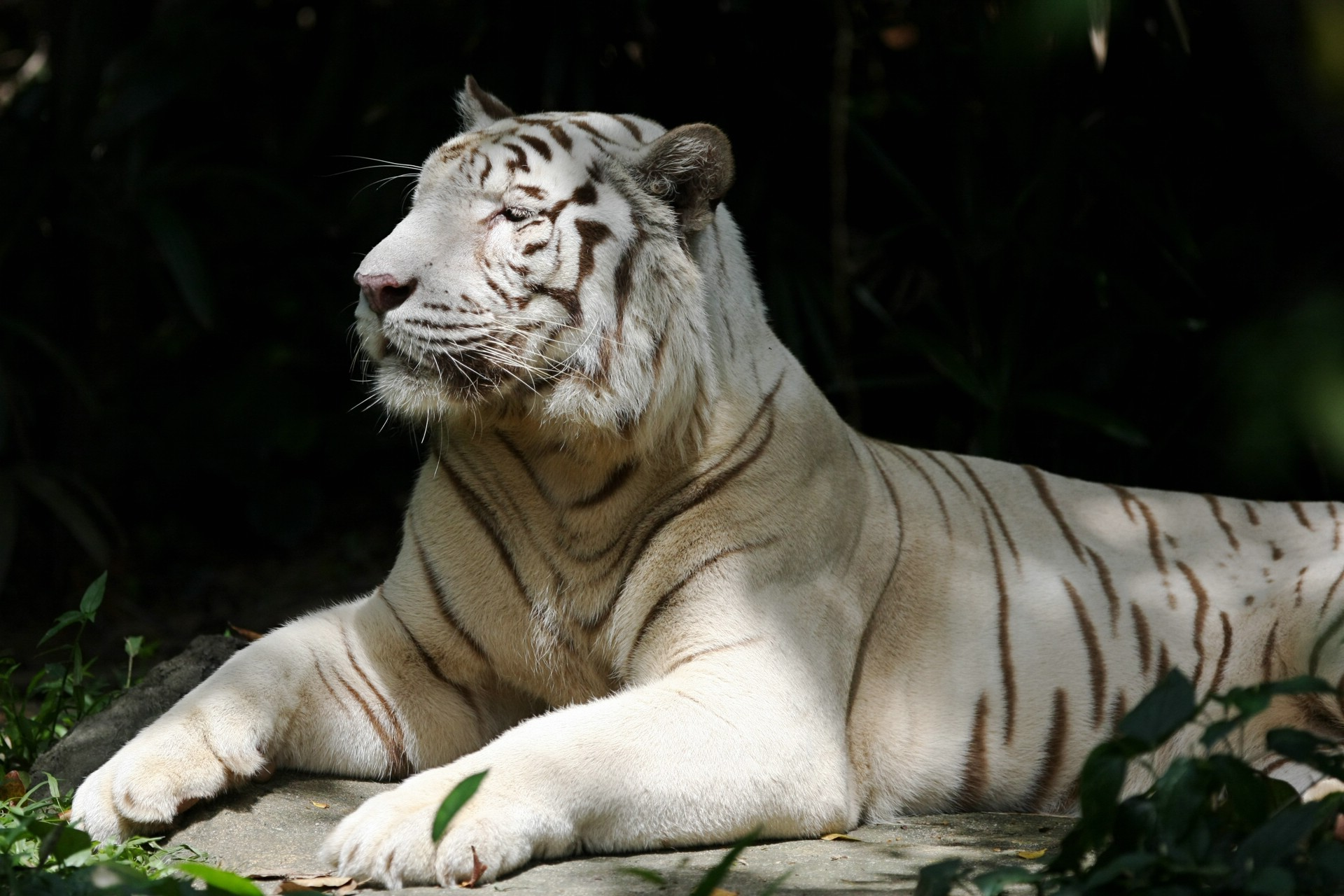 Fond d 39 cran hd tigre blanc gratuit fonds cran tigre for Photo d ecran gratuit